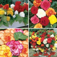 Thompson & Morgan Begonia Bumper Collection - 40 Tubers