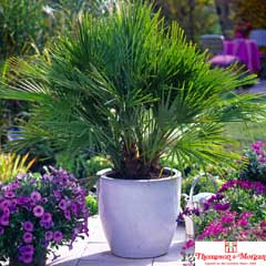 Thompson & Morgan Dwarf Fan Palm 2 x 3 Litre Pots