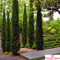 Thompson & Morgan Italian Cypress Stricta 2 x 14cm Pots