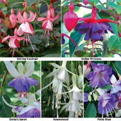 Thompson & Morgan Hardy Fuchsia Collection 10 x Plug Plants