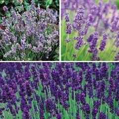 Thompson & Morgan 6 Variety Lavender Collection 12 x Jumbo Plug Plants