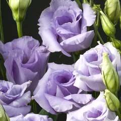 Thompson & Morgan Lisianthus Summer Blue Roses 12 Plugs