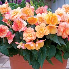 Thompson & Morgan Begonia Patio Apricot Shades 24 Plugs