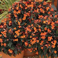 Thompson & Morgan Begonia Glowing Embers 9 Jumbo Plugs