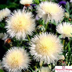 Thompson & Morgan Centaurea The Bride 24 Plugs