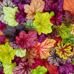 Thompson & Morgan Heuchera Patchwork Mix 10 Postiplugs