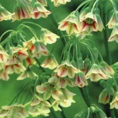 Autumn Bulbs - Nectaroscordium Siculum  x 12