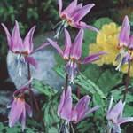 Autumn Bulbs - Erythronium Dens-Canis x 2 Tubers