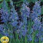 Autumn Bulbs - Camassia Leichtlinii Caerulea x 2