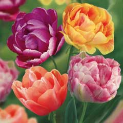 Taylors  Scented Tulip Collection 30 bulbs