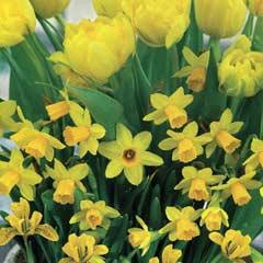 Autumn Bulbs - Lemon Drizzle Collection 20 Bulbs