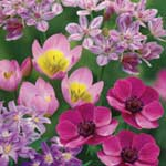 Autumn Bulbs - Pink Shades Collection