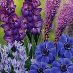 Spring Bulbs - Blue Shades Collection 50 Bulbs