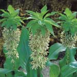 Spring Bulbs - Eucomis Bicolour 2 Bulbs