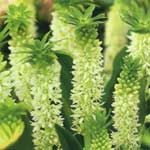 Spring Bulbs - Eucomis White Dwarf 2 Bulbs