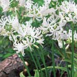 Spring Bulbs - Nerine Alba Ella K 2 Bulbs