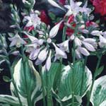 Spring Bulbs - Hosta Fortunei Patriot 1 Root