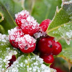 Outdoor Canvas - Winter Berry - 79 x 79cm
