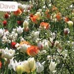 Javado Folklore Dave - 60 Mixed Bulbs