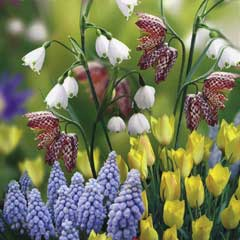 Taylors Late Flowering Collection - 75 Bulbs
