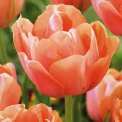 Taylors Tulip Menton Exotic 7 Bulbs