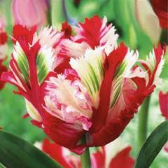 Taylors Tulip Estella Rijnveld 7 Bulbs