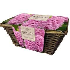 Taylors Large Pink Hyacinth Wicker Basket - 6 Bulbs