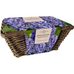 Taylors Large Blue Hyacinth Wicker Basket  - 6 Bulbs