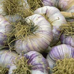 Taylors Garlic Early Purple Wight - 1 Bulb
