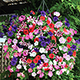 Thompson and Morgan Petunia Easy Wave Ultimate Mixed - 48 Plug Plants