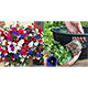 Thompson and Morgan Petunia Surfinia Mixed - 20 Postiplugs and 2 Hanging Baskets